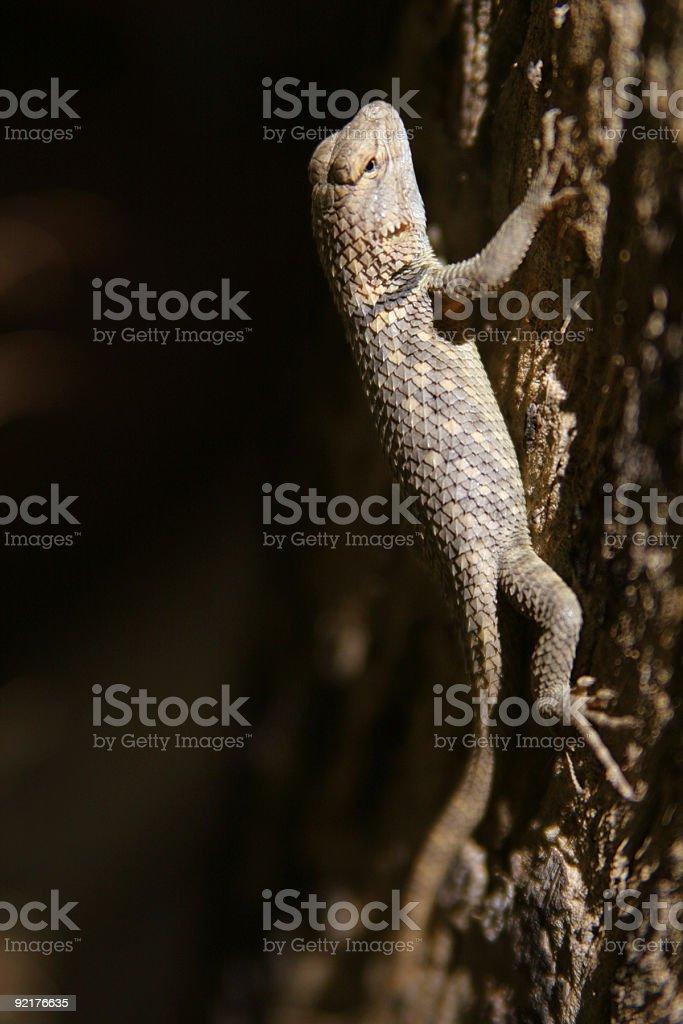 desert spiny iguana royalty-free stock photo