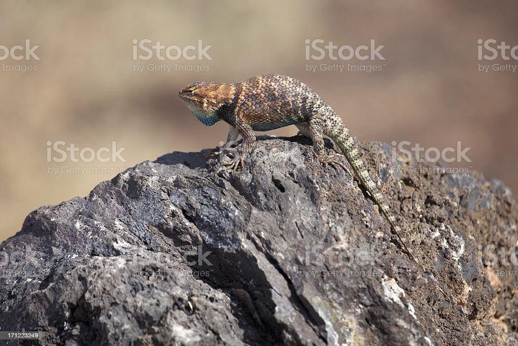 Desert spiny lizard displays at Wupatki National Monument stock photo