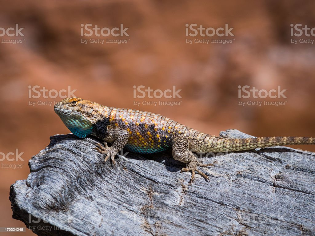 Desert Spiny Lizard in Coyote Gulch stock photo