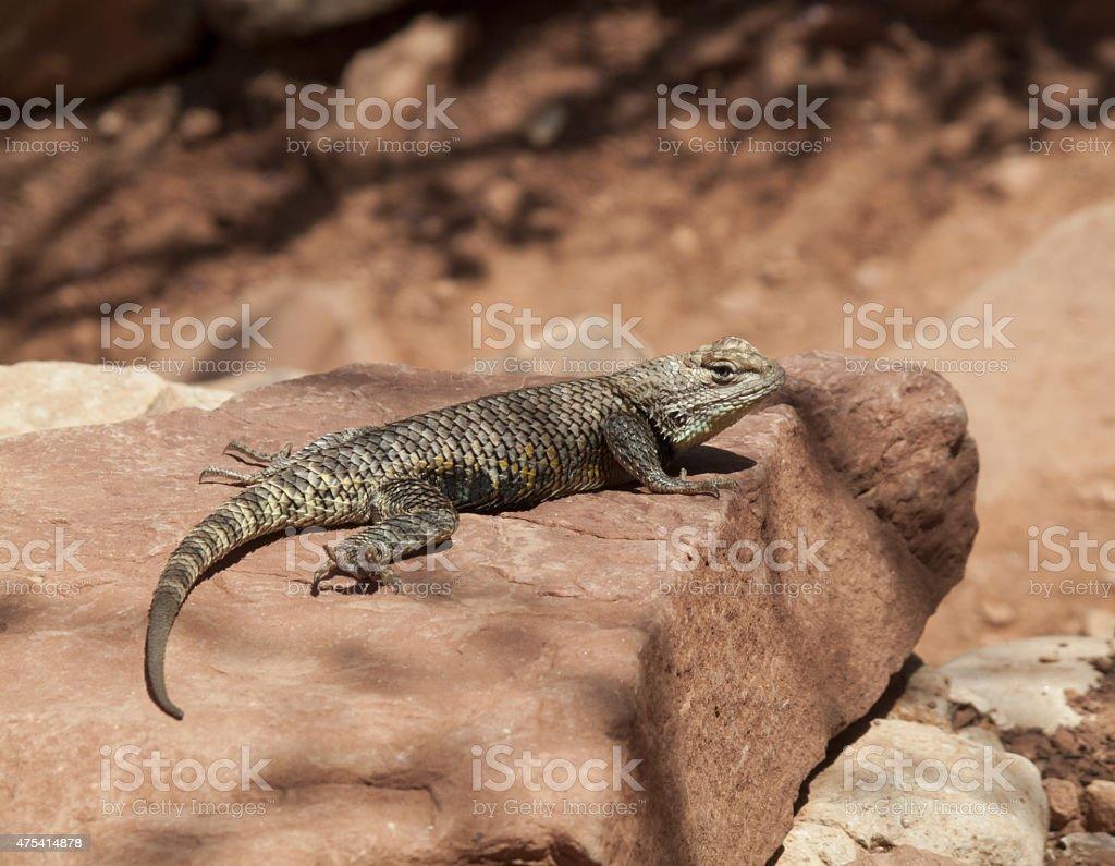 Desert Spiny Lizard stock photo