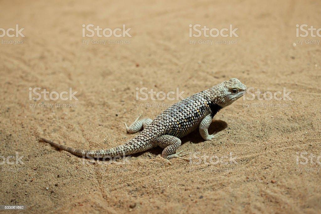 Desert spiny lizard (Sceloporus magister). stock photo