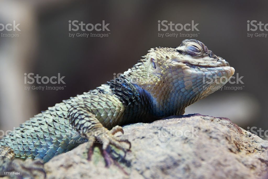 Desert Spiny Lizard with Closed Eyes stock photo