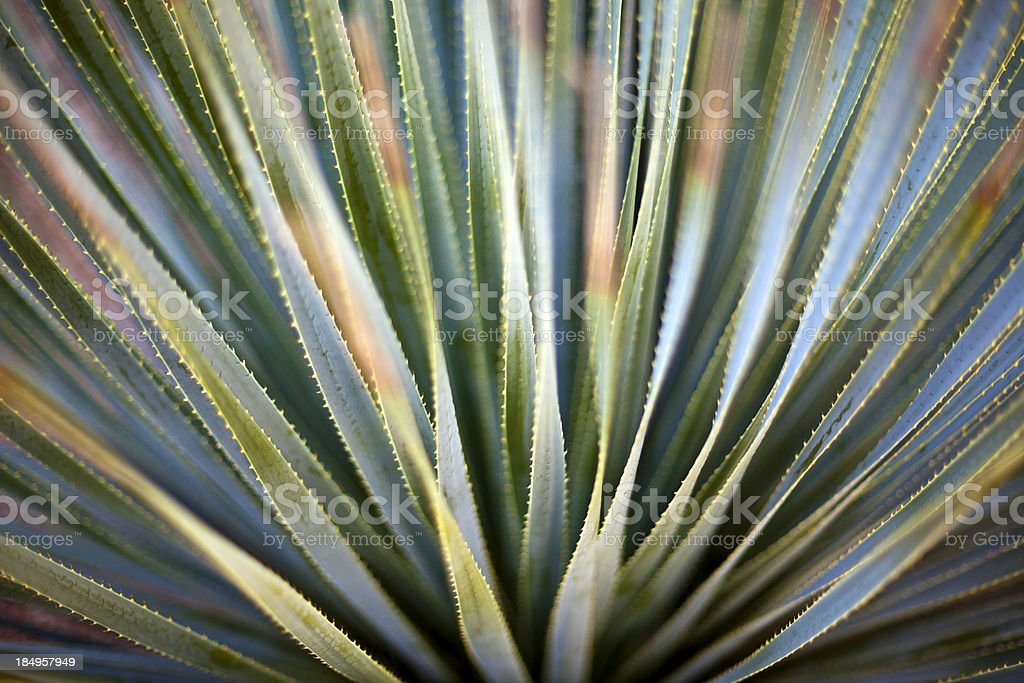 Desert Spoon Close up stock photo
