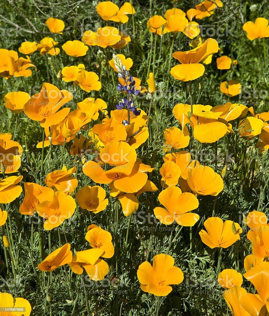 Desert Spring Wildflowers royalty-free stock photo