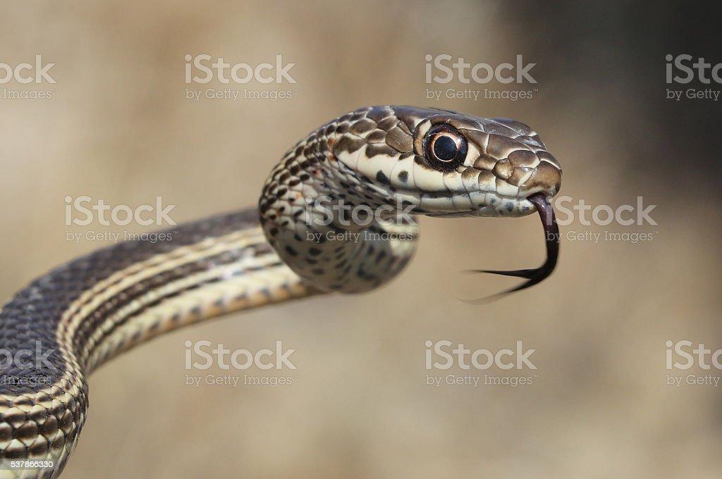 Desert Striped Whipsnake - Coluber taeniatus stock photo