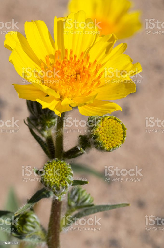 desert sunflower  Geraea canescens stock photo