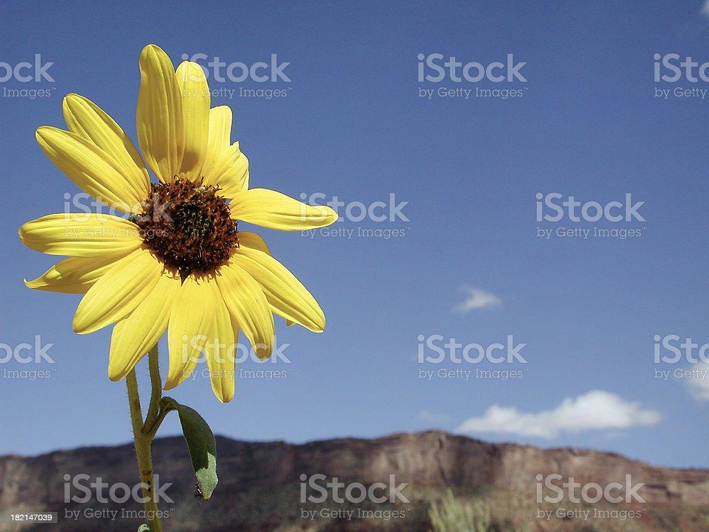 Desert Sunflower royalty-free stock photo