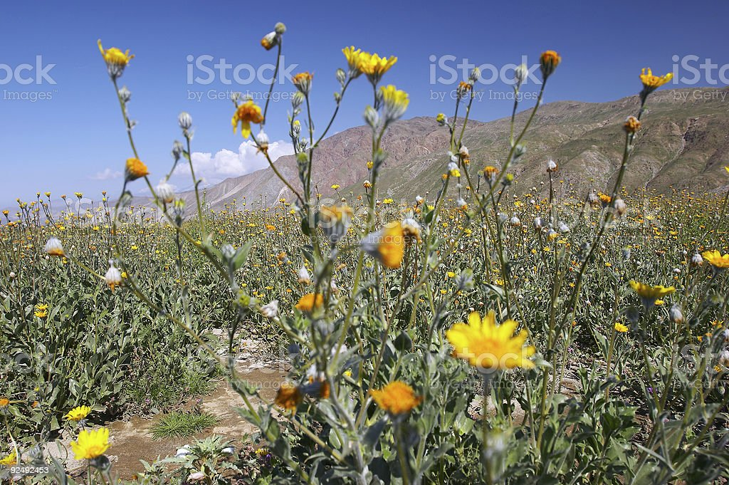 Desert sunflower stock photo