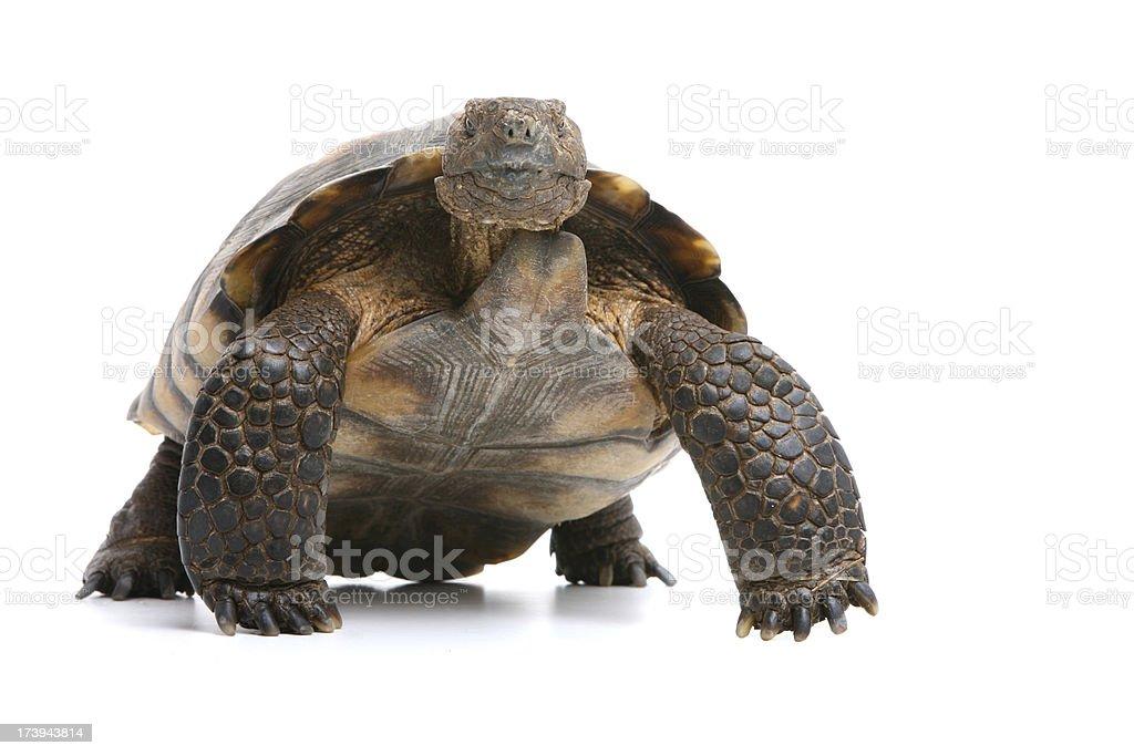 Desert Tortoise royalty-free stock photo