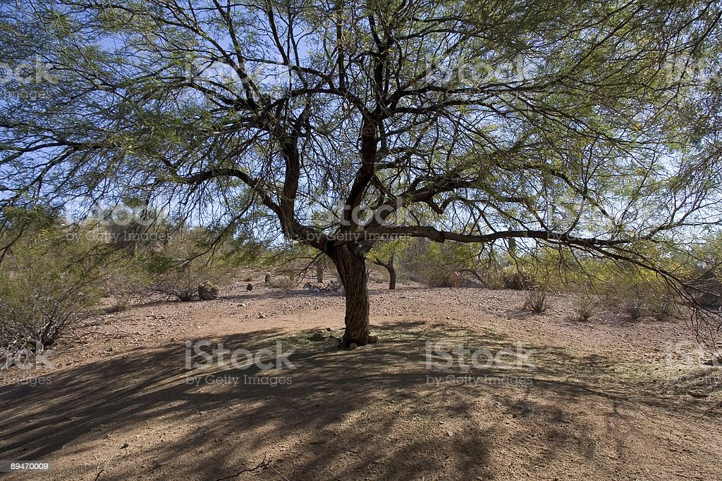 desert tree royalty-free stock photo