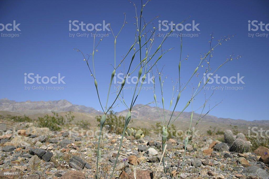 Trompete do deserto foto de stock royalty-free