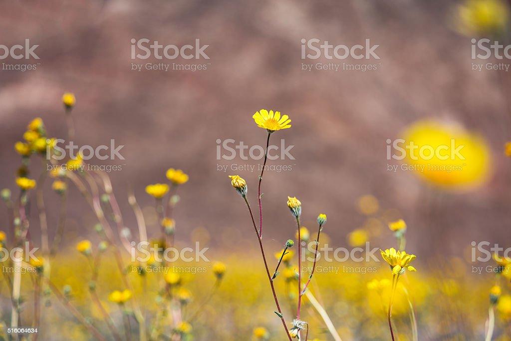 Desert Wildflowers Bloom To Life In Springtime stock photo