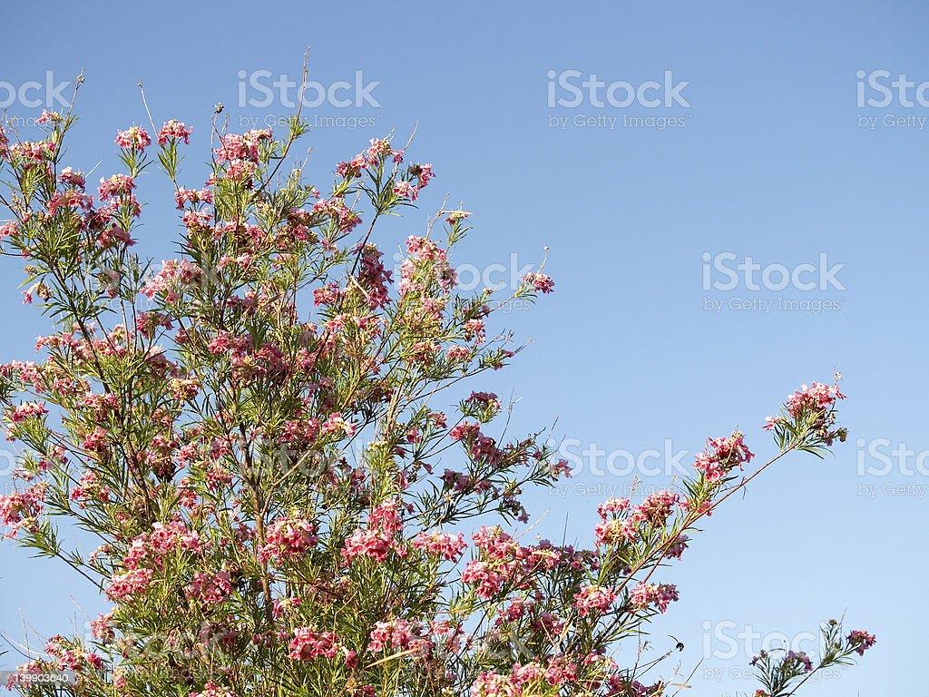 Desert willow stock photo