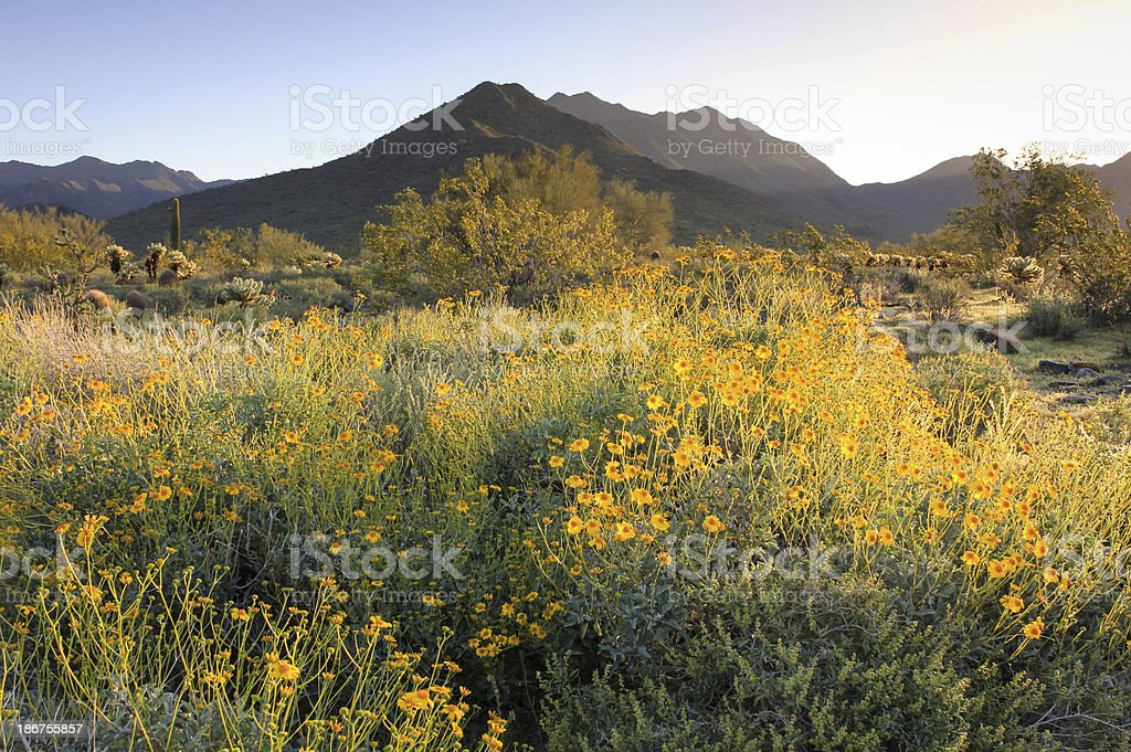 Desert with yellow blooms and hills in the background royalty-free stock photo