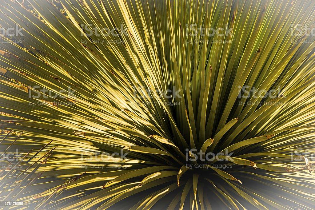 Desert Yucca royalty-free stock photo