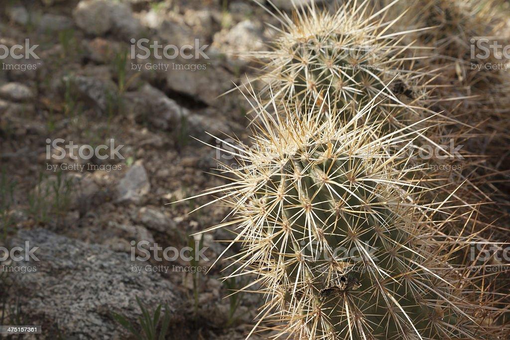 DesertCactus royalty-free stock photo