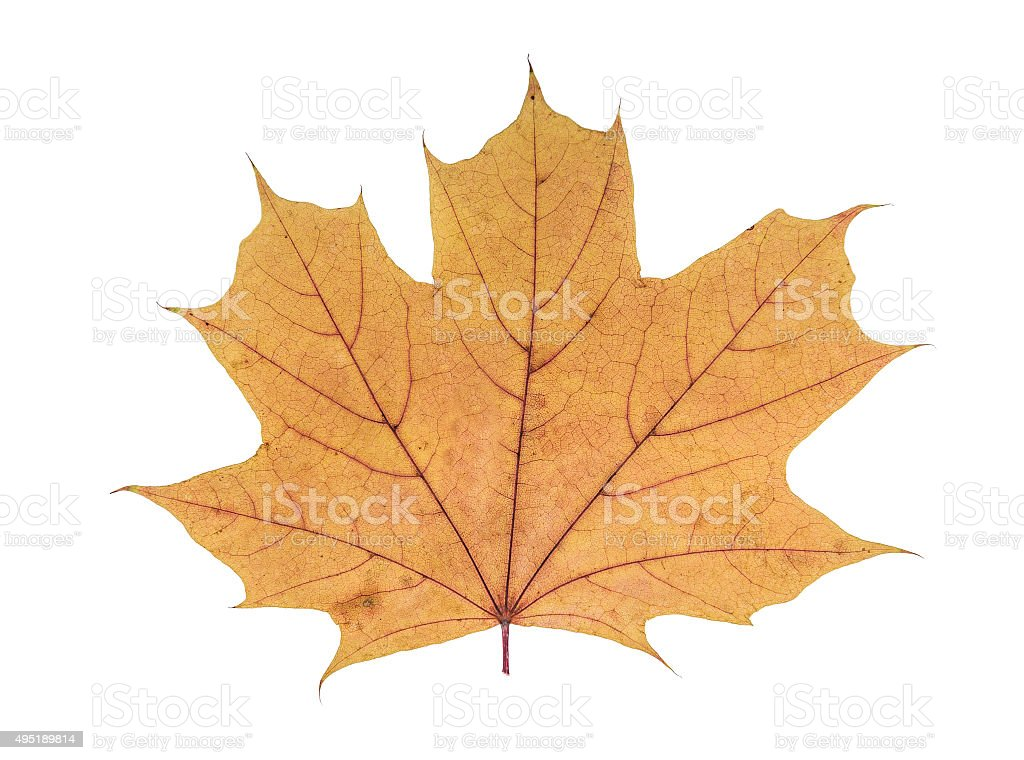 Desiccated maple leaf stock photo