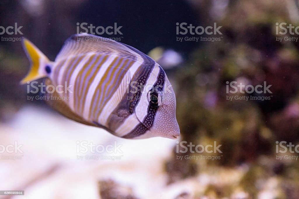 Desjardini Sailfin tang Zebrasoma desjardini stock photo