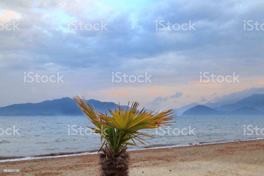 Dessert fan palm in marmaris beach during sunset stock photo