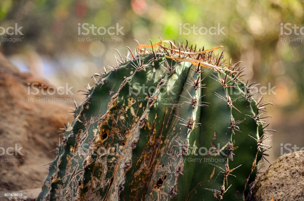 Destroyed cactus plant outside with nature background stock photo