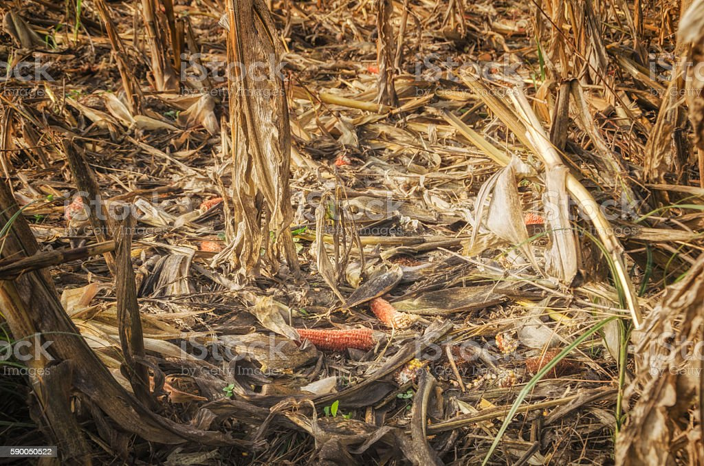 Destroyed corn lying on the corn field stock photo