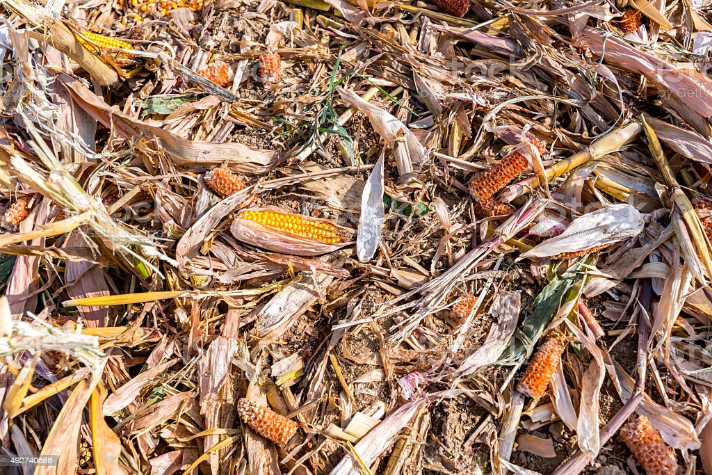 Destroyed corn stock photo