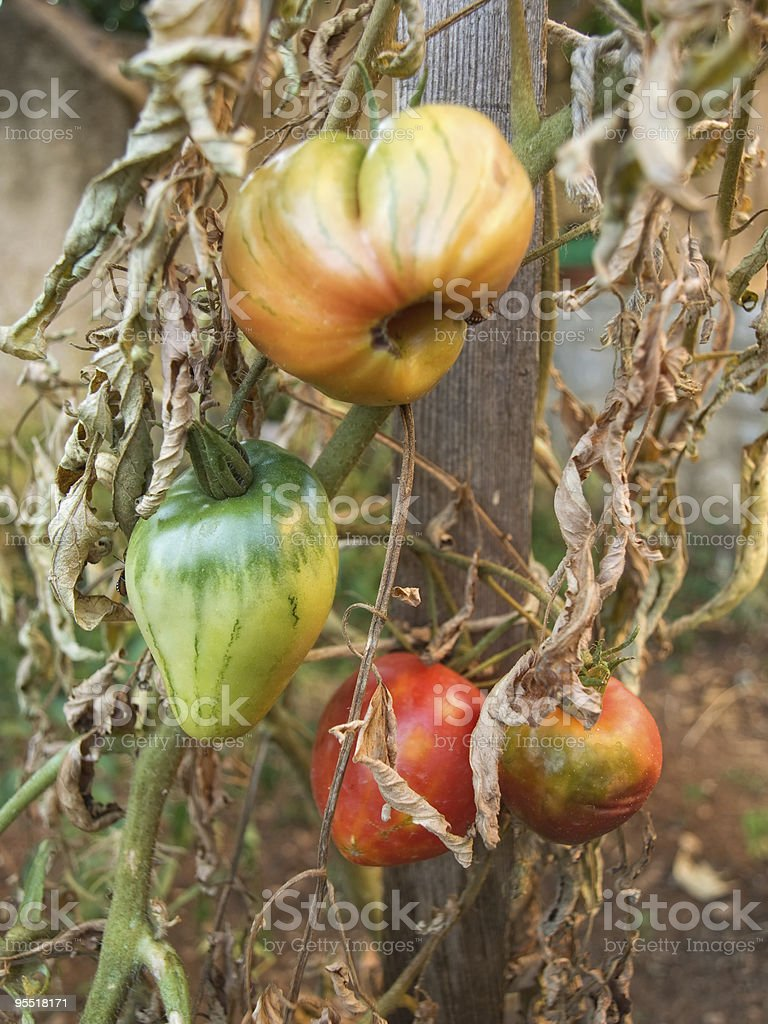 Destroyed crops royalty-free stock photo