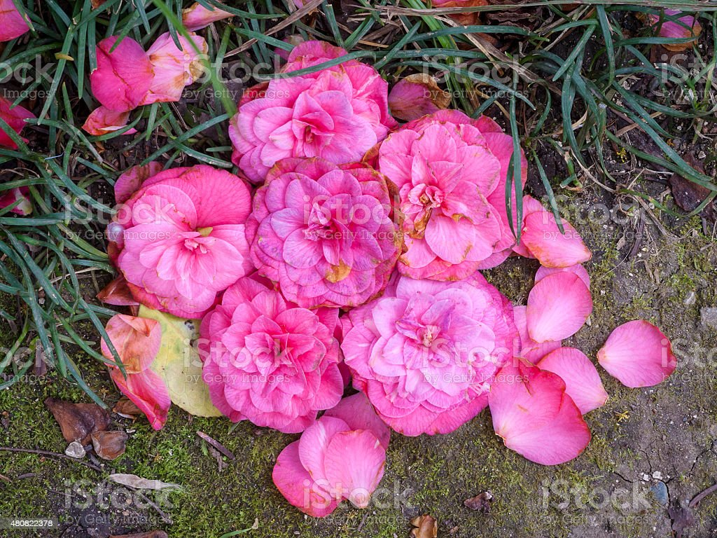 destroyed Flower camellia japonica stock photo