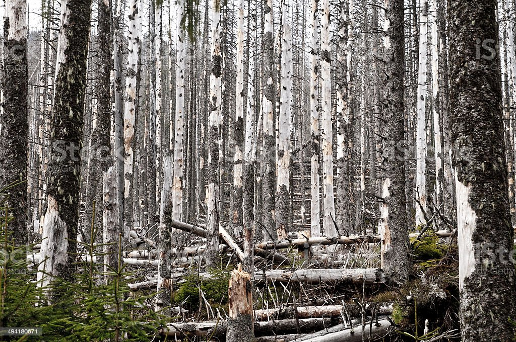 Destroyed forest, a lot of dead trees stock photo