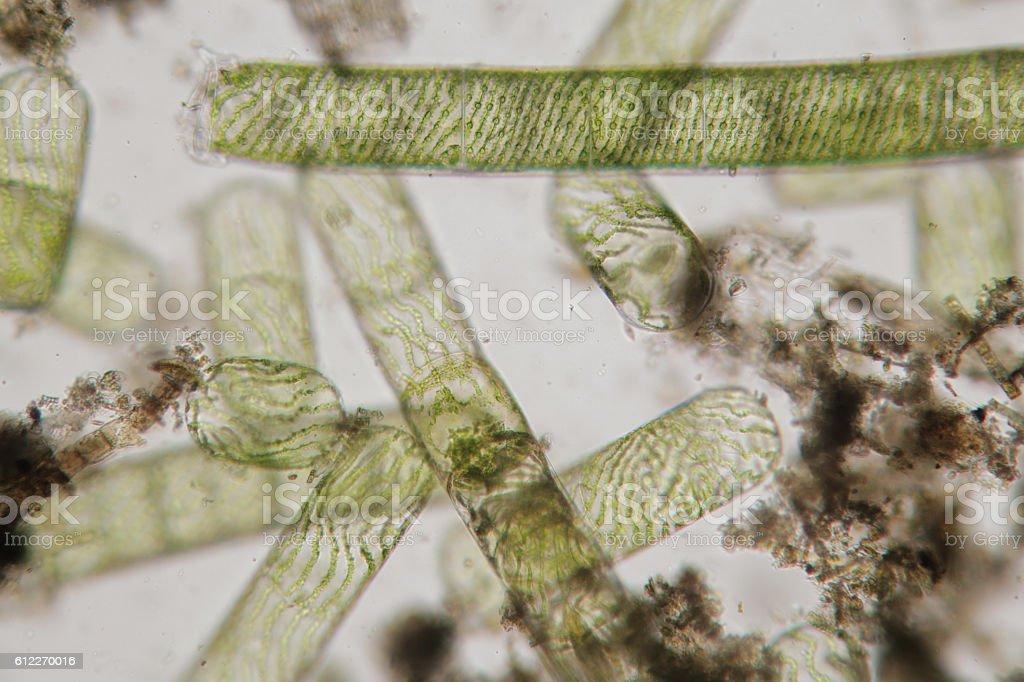 Destroyed structures of filamentous freshwater algae Spirogyra stock photo