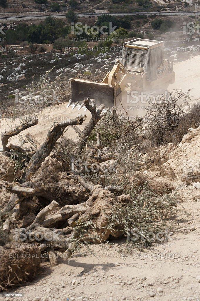Destruction of Palestinian Olive Trees royalty-free stock photo