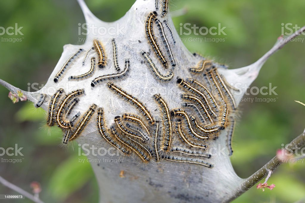 Destructive Gypsy Moth caterpillars stock photo
