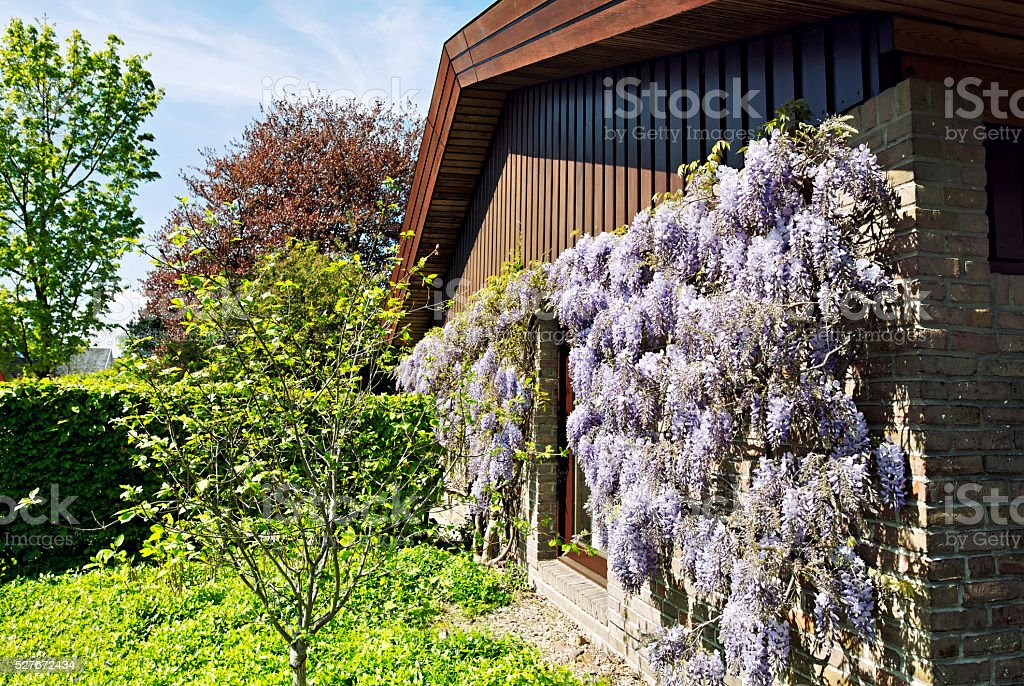 Detached bungalow with blooming wisteria floribunda and frontyard stock photo