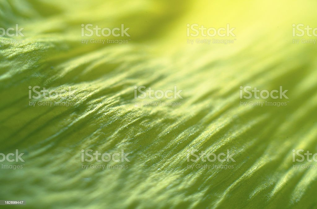 Detail Close-up of Daffodil Flower Petal stock photo