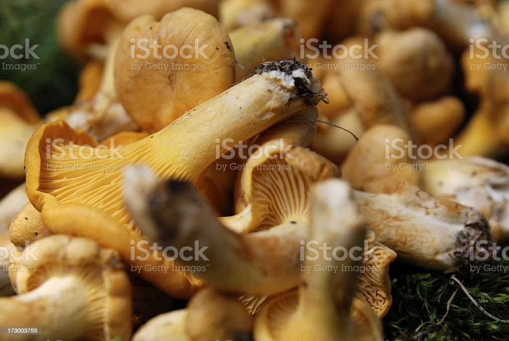 detail from fresh chanterelle found in the forest stock photo