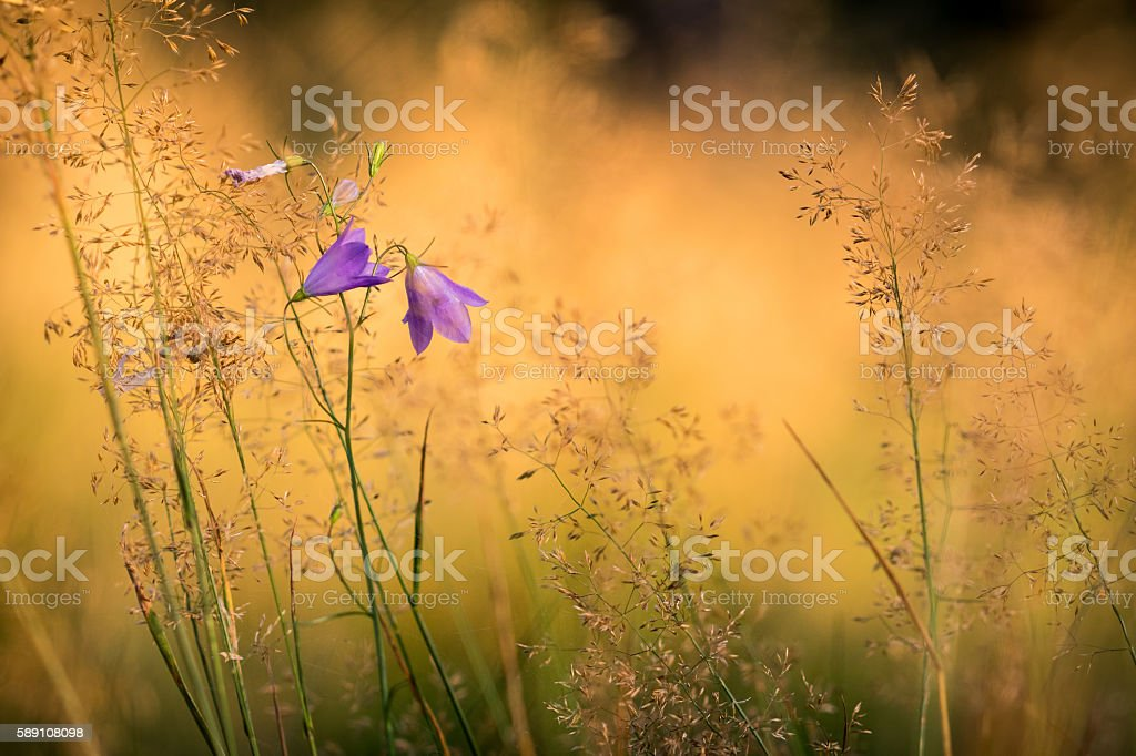 Detail from summer meadow with bell flowers stock photo