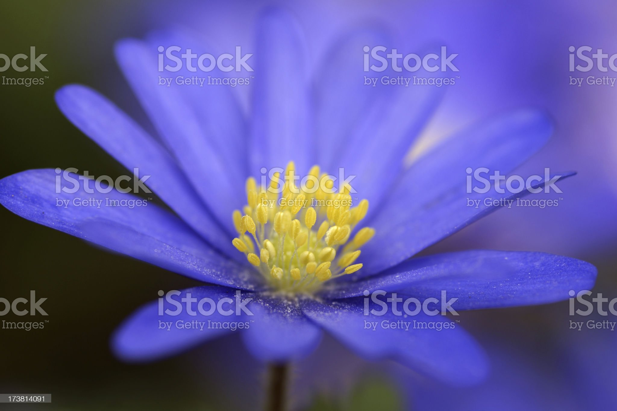 Detail of a blue anemone royalty-free stock photo