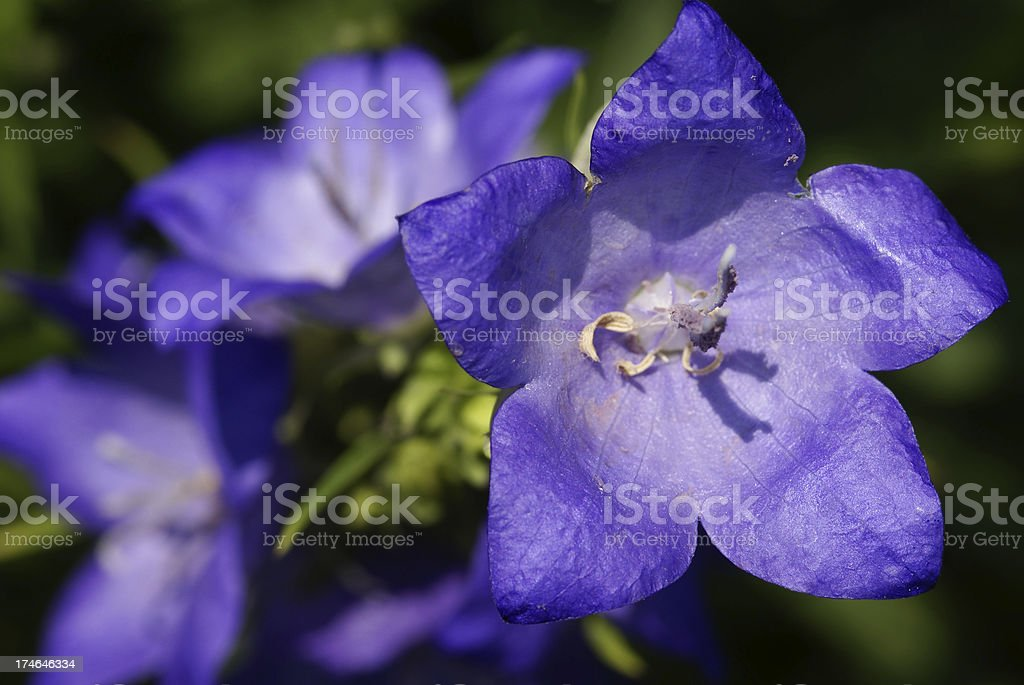 Detail of a blue bellflower royalty-free stock photo