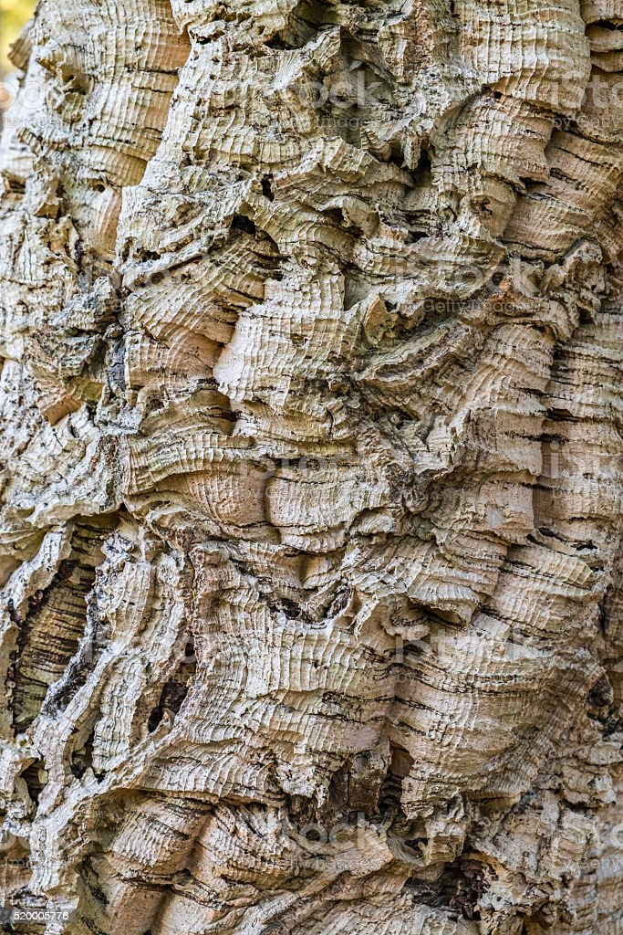 Detail of a cork oak trunk. stock photo