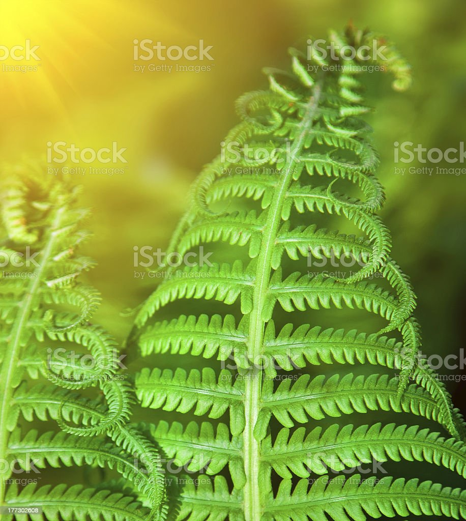 Detail of a fresh green fern leafs in the forest royalty-free stock photo