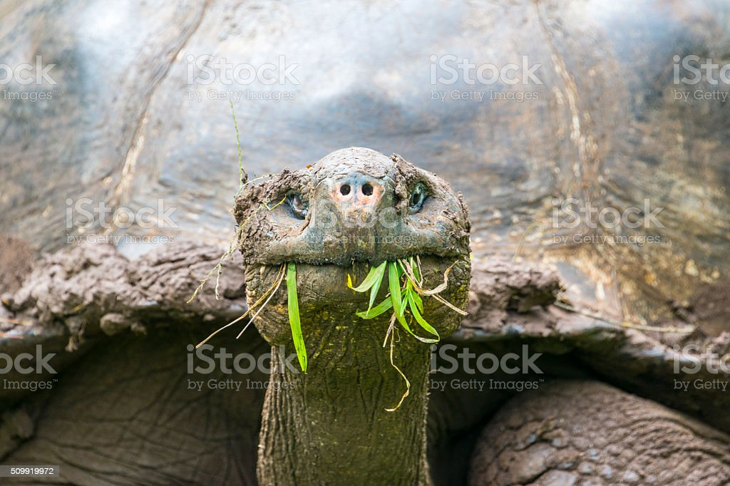 Detail of a Giant tortoise, Galapagos islands (Ecuador) stock photo