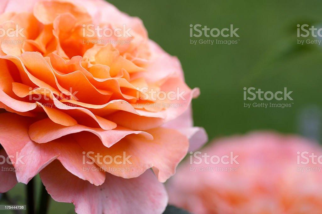 Detail of a orange rose flower stock photo