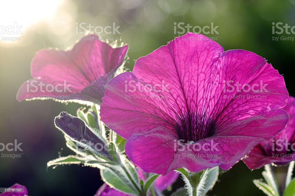 Detail of a petunia royalty-free stock photo
