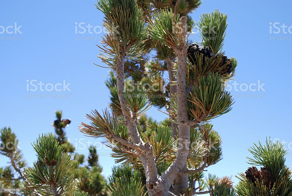 Detail of a Pine Tree royalty-free stock photo