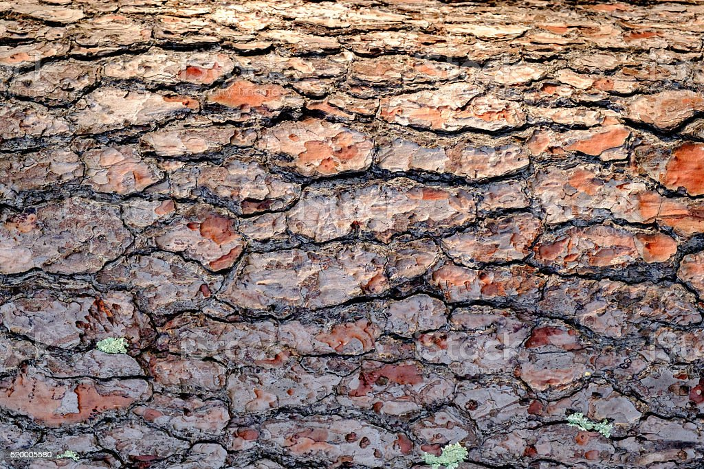 Detail of a pine tree trunk. stock photo