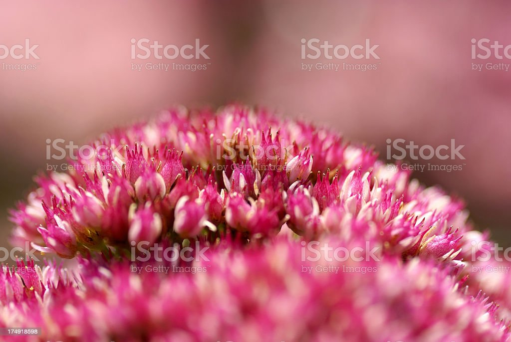 Detail of a stonecrop stock photo