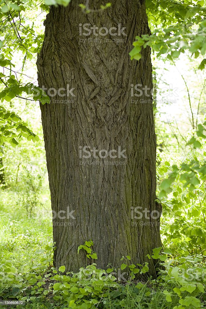 Detail of a tree in forest royalty-free stock photo