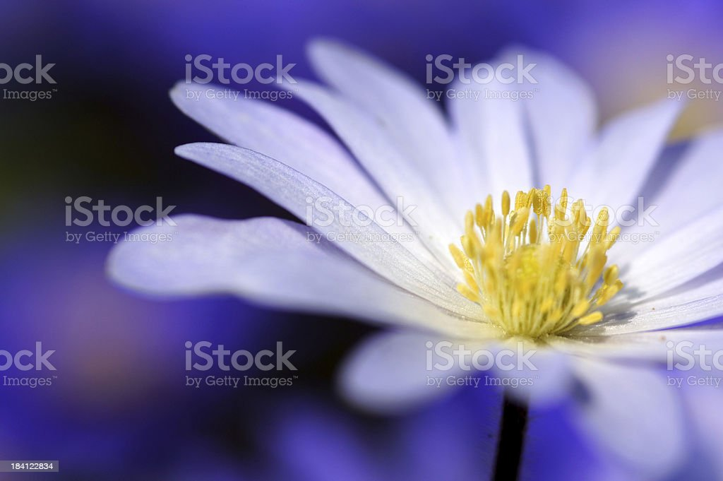 Detail of a white anemone royalty-free stock photo