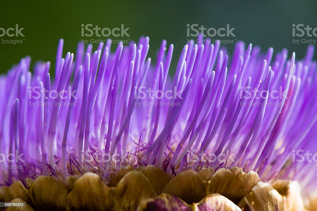 Detail of artichoke flower stock photo
