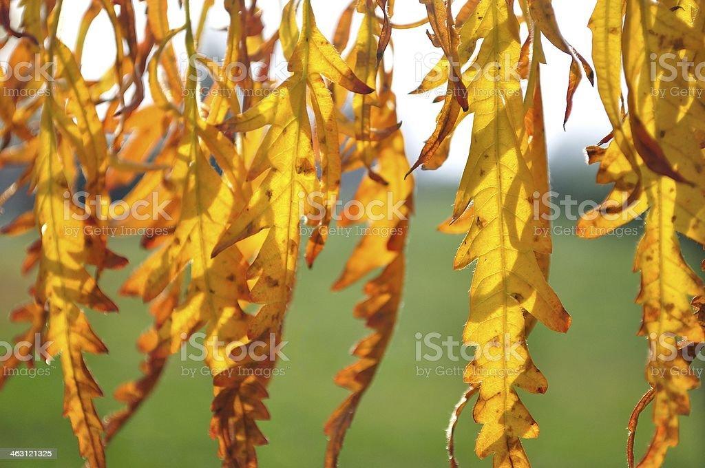 Szczegóły podświetlany żółty jesienią liście zbiór zdjęć royalty-free